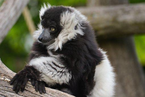 Animal, Black-and-white Vari, Zoo, Tiergarten