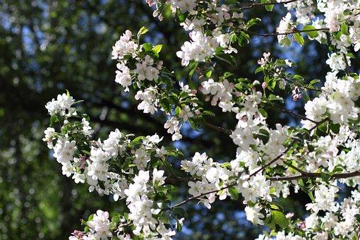 Apple Tree, Trees, Spring, Bloom, Tree, Apple, White