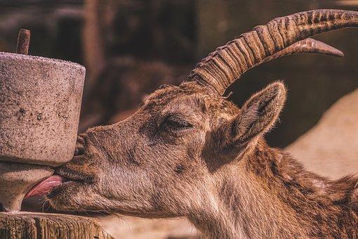 Capricorn, Alpine, Salt, Horns, Zoo, Tiergarten, Horn