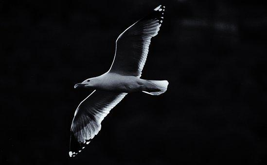 Seagull, Bird, Art, Te Fly Sea, Animal, Ali, Sky, Birds