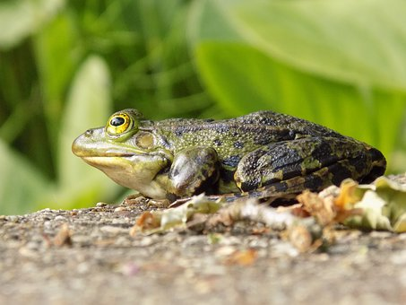 Frog, Animal, Green, Water, Nature, Pond, Garden, Plant