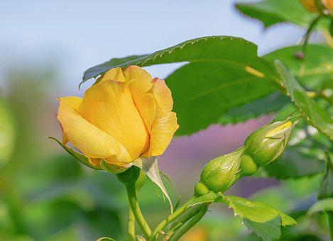 Rose, Blossom, Bloom, Yellow, Flower, Petals, Beautiful
