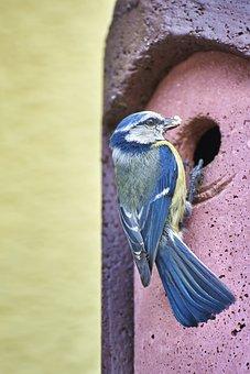 Blue Tit, Bird, Hatching, Rearing, Animal, Tit, Nature