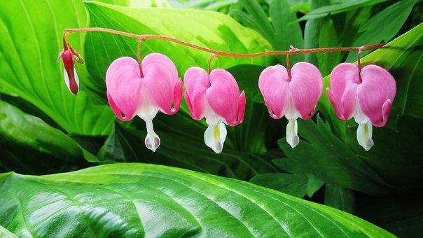 Bleeding Heart, Flower, Pink, Green, Spring