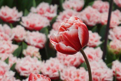 Tulip, Flower, Spring, Nature, Garden, Flora, Blossom