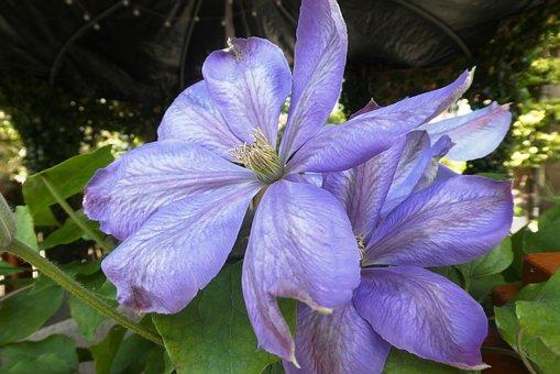 Larkspur, Blue Flower, Garden, Blossom, Flower