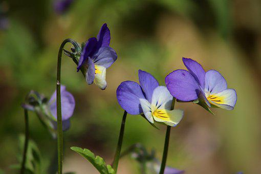 Arable Violets, Violet Plant, Wild Pansy, Blue, Flowers