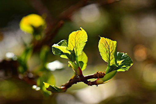Bud, Leaf, Young Leaves, Shoot, Branch, Twig