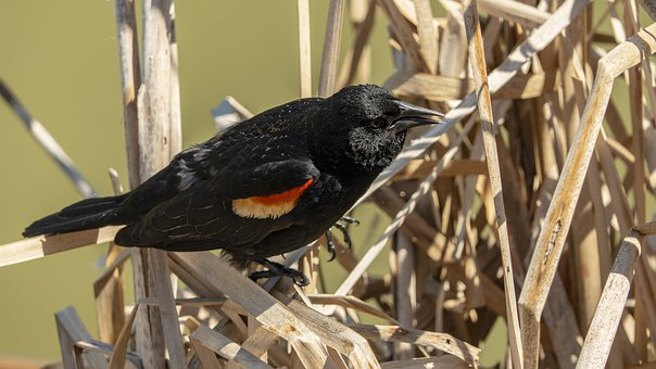 Redwing Blackbird, Eyes, Marsh, Bull Rushes, Reeds