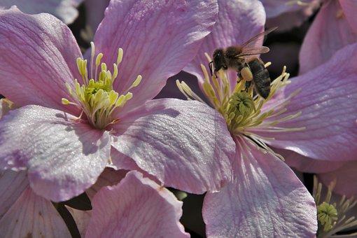 Hoverfly, The Petals, Bee, Clematis, Garden, Nectar