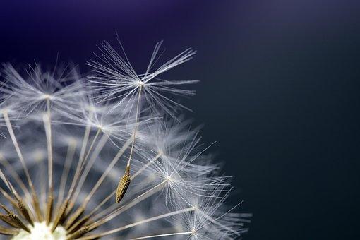 Dandelion, Seeds, Plants, Nature, Macro, Close, Summer