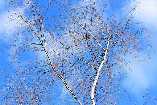 White Birch Tree, Trunk, Branch, Crown, Blue Skies