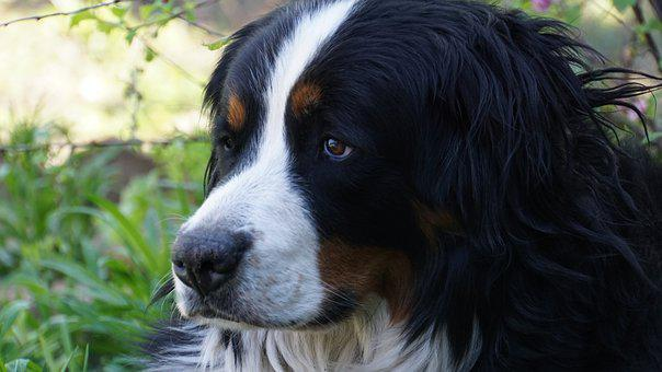 Bernese Mountain Dog, Dog, Head, Bitch, Portrait