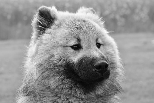 Dog, Dog Eurasier, Male Eurasier, Dog Olaf-blue
