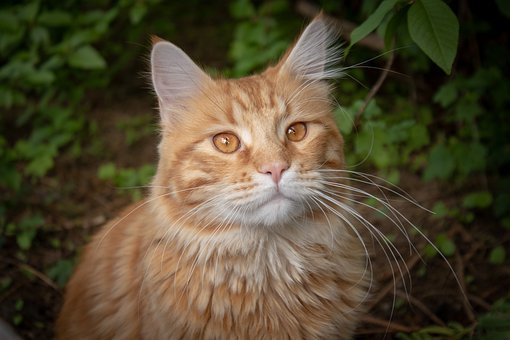Cat, Red, German Longhaired Pointer, Domestic Cat