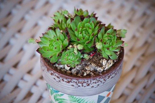 Fat Plants, Cactus, Garden, Nature, Succulentes