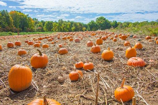 Pumpkins, Field, Autumn, Thanksgiving, Orange, Nature