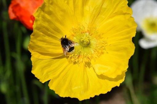 Flower, Poppy Flower, Yellow Flower, Bourdon