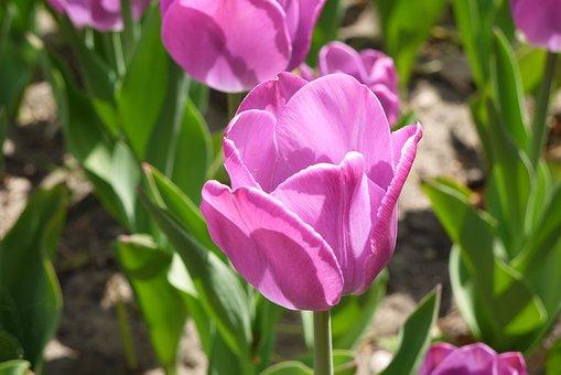Violet, Tulip, Closeup, Spring, Garden, Flowers, Flower