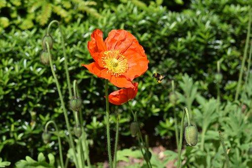 Flower, Flower Orange Yellow, Poppy Flower, Stamens