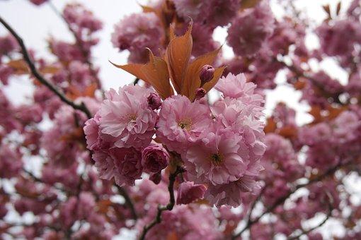 Cherry Blossom, Spring, Cape Cod, Cherry, Flowers