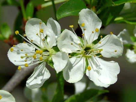 Flowers, Plum, Spring, Nature, White, Bloom, Beautiful
