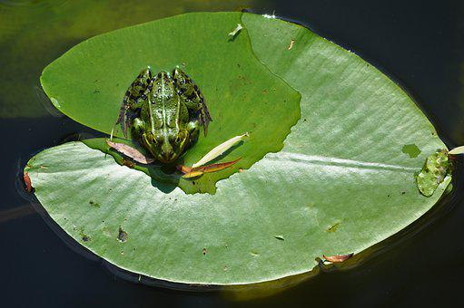 Frog, Lily Pad, Rest, Pond, Water, Animal, Green