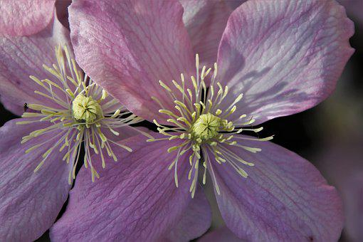 The Smell Of, Clematis, Pink, Garden, Two, Love, Plant