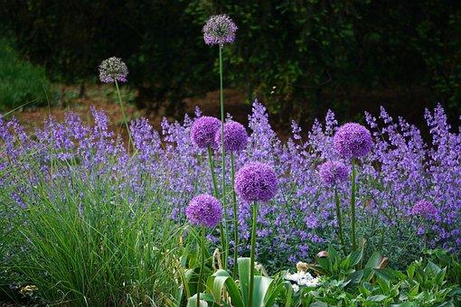 Flowers, Purple, Nature, Plant, Garden, Lavender