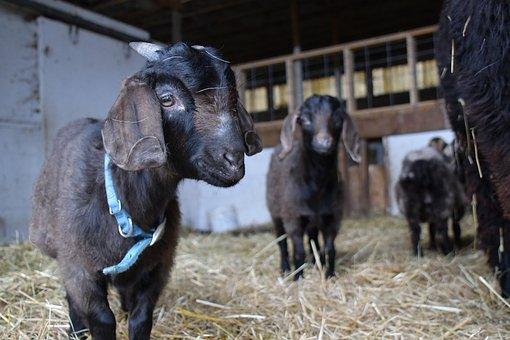 Goats, Kids, Goat, Kid, Farm, Hay, Animal