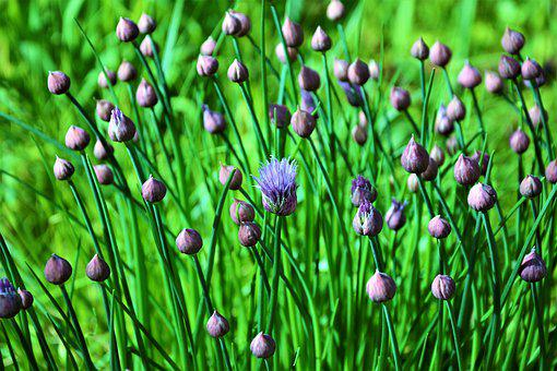 Chives, Blooming, First Bloomer, Herb, Purple, Green