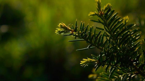 Nature, Plants, Green, Iglak, Young, Shoots, Spring