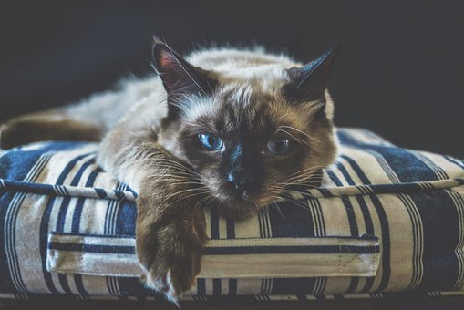 Cat, Ragdoll, Kitten, Dark, Kitty, Animal, Blue, Pet