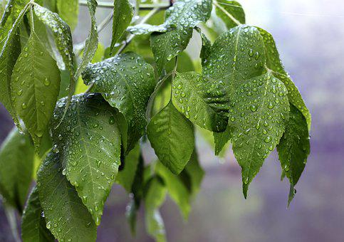 Plant, Tree, Leaves, Rain, Beaded, Raindrop