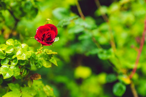 Rose, Red, Love, Plant, Nature, Garden, Spring, Green