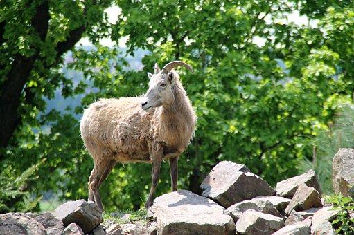 Goat, Animal, Zoo, Mammal, Corners, Creature, Fur