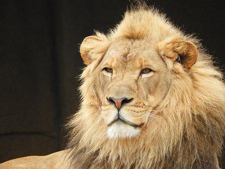 Lion, Zoo, Male, Feline, Portrait, Mane