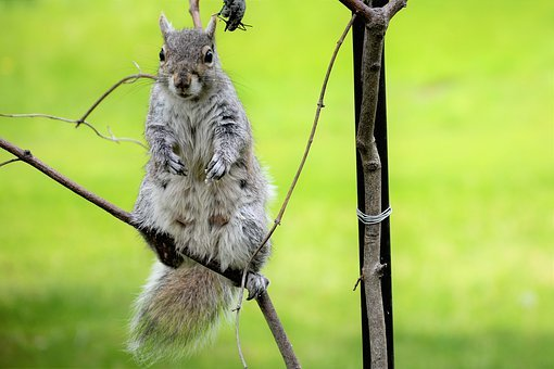 Squirrel, Young, Female, Mammary Glands, Perched