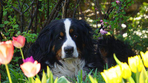 Bernese Mountain Dog, Dog, Bitch, Portrait, Tulips, Pet