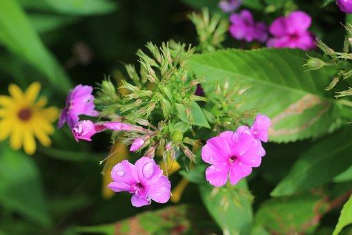 Phlox, Pink, Purple, Flower, Floral, Botanical, Macro
