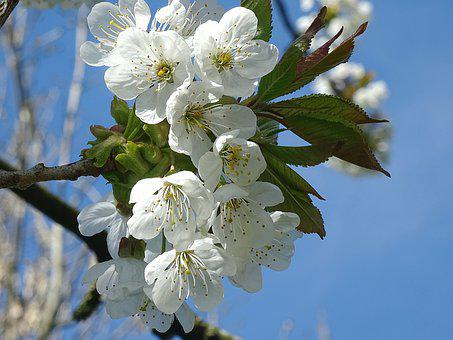 Plant, Garden, Crops, Trees, Flowers, Cherry Blossoms