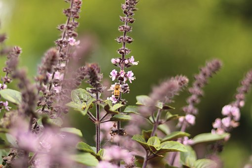 Lavender, Bee, Plant, Insect, Nature, Garden, Purple