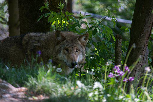 Wolf, Flower, Forest, Nature, Summer, Plant, Petals