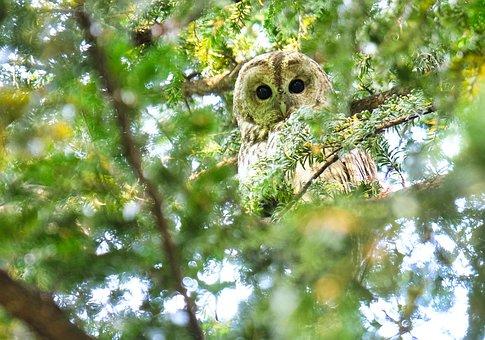 Tawny Owl, Owl, Raptor, Bird, Plumage