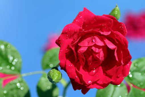Rose, Petal, Flowers, Beautiful, Pretty Flowers, Nature