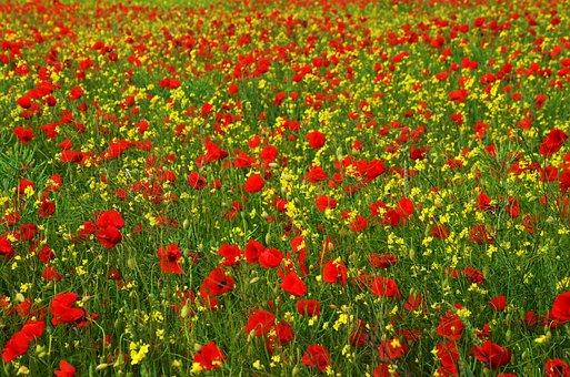Poppy, Rape, Red, Yellow, Field, Meadow, Wildflower