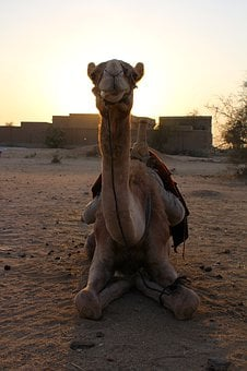 Camel, Sunset, Desert, Landscape, Sand, Animal, Sun