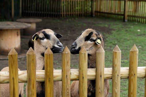 Sheep, Animal, Cameroon Sheep, Brown, Pasture