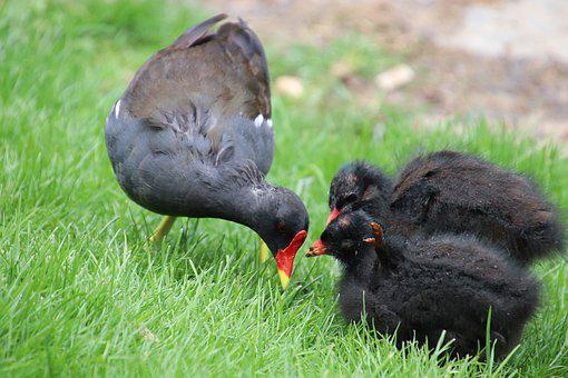Moorhen, Chickens, Small, Gallinule, Bird, Birds, Black