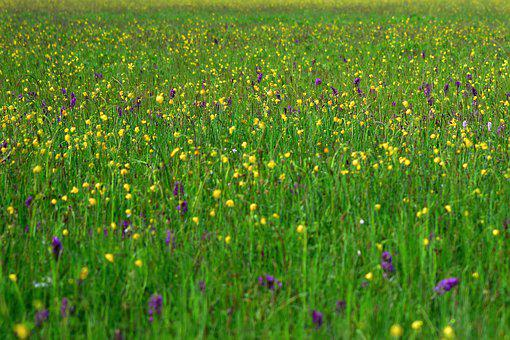 Meadow, Spring, Orchid Meadow, Nature, Grass, Blossom
